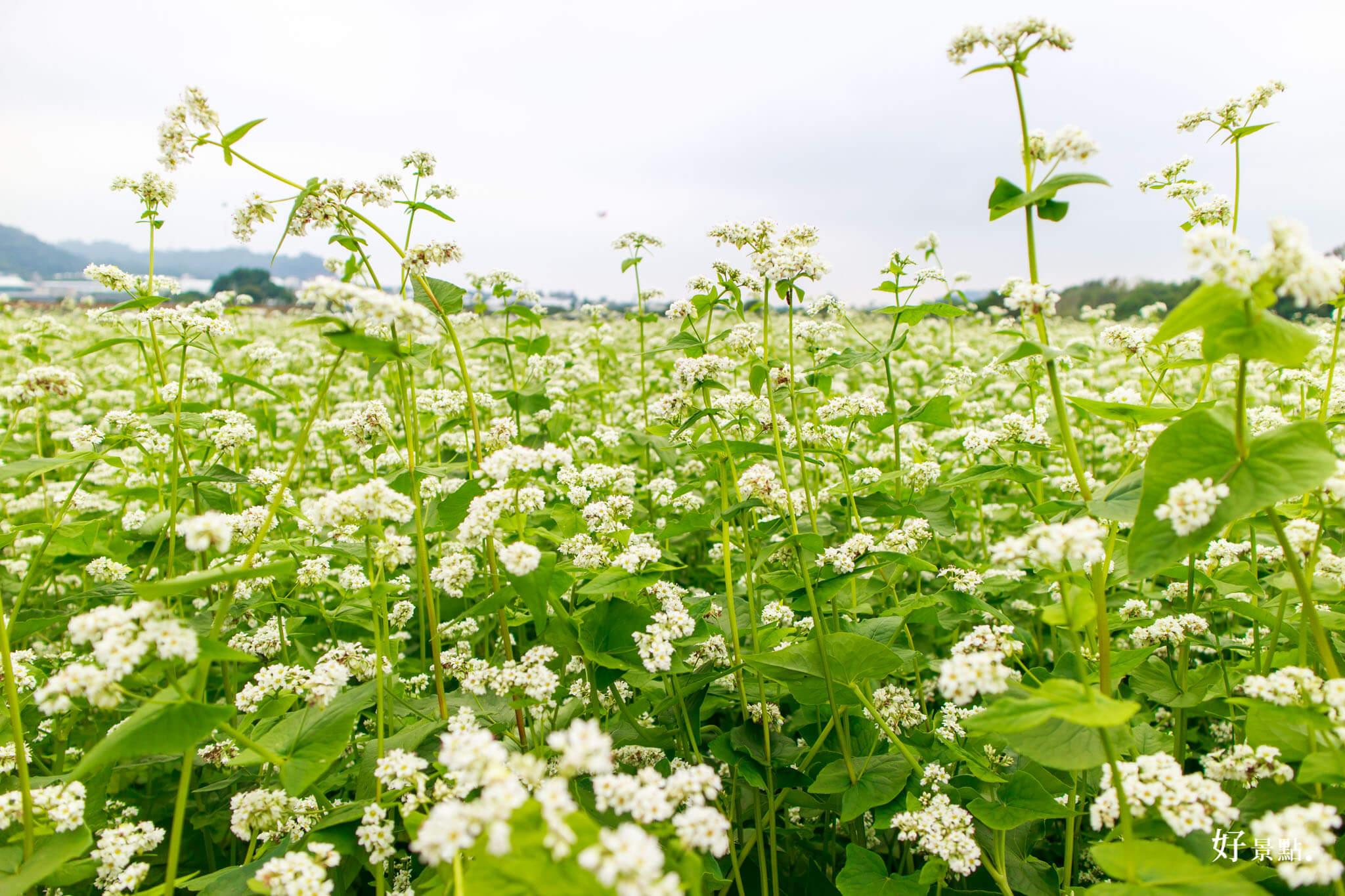 |台中。新社|2017新社花海-到新社賞花、吃美食