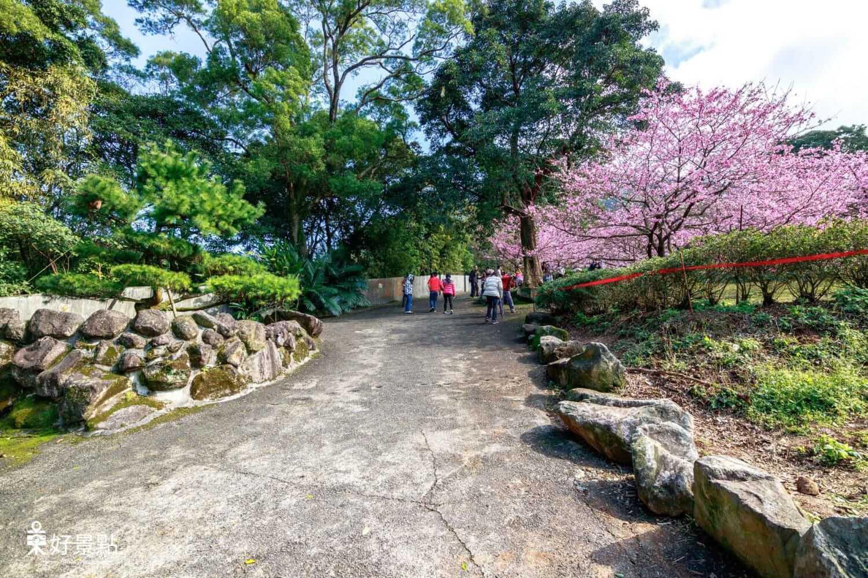 |新北。淡水|2018天元宮後山三色櫻-櫻花盛開