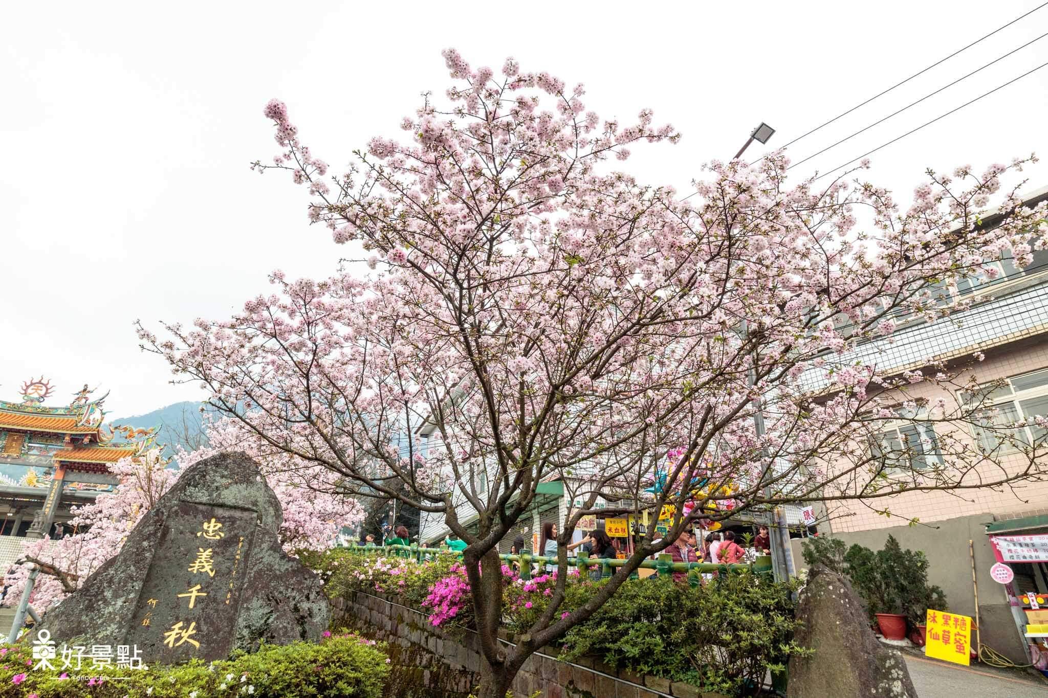  新北。淡水 2018淡水天元宮吉野櫻賞櫻資訊-花都開好了!