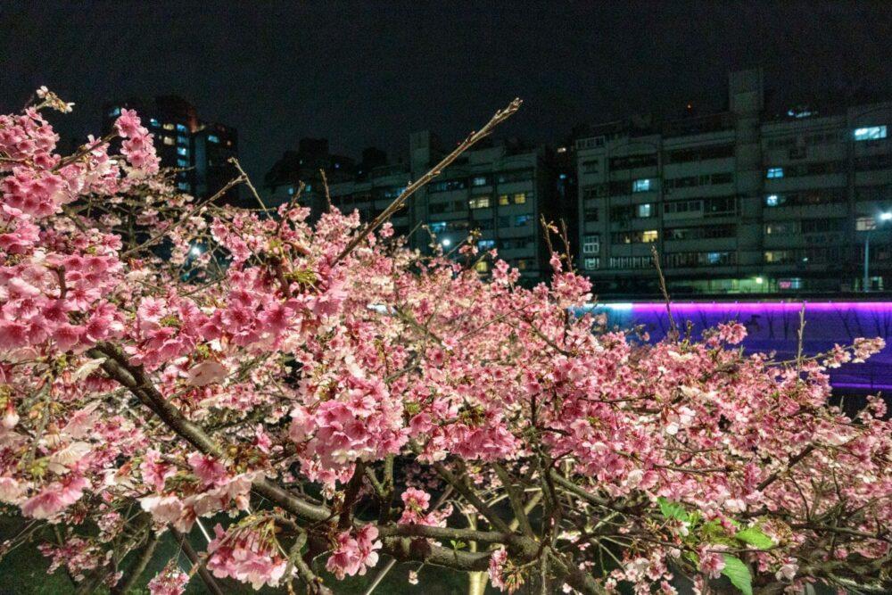 |台北。內湖|2019樂活公園夜櫻季-超浪漫寒櫻盛開/捷運東湖站附近