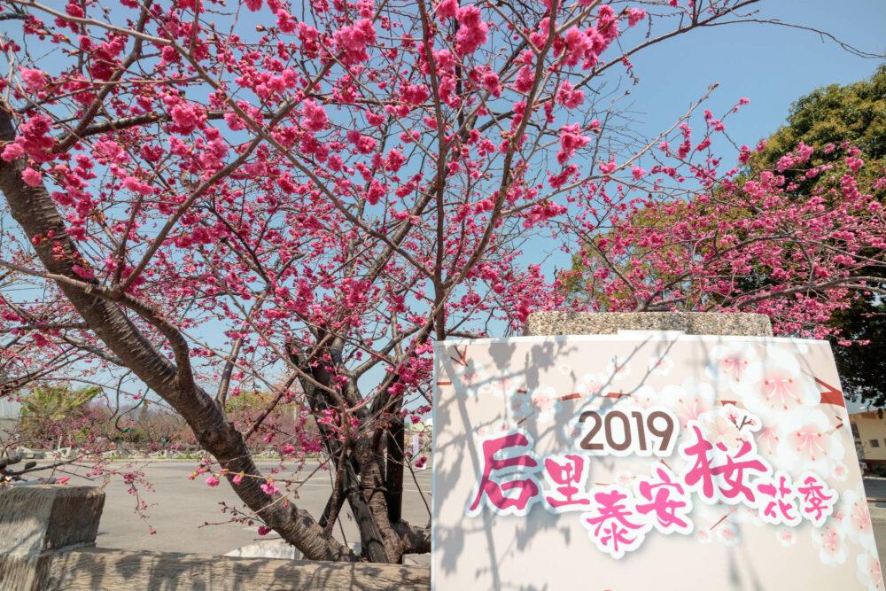 |台中。后里|2019泰安櫻花季-被超美櫻花包圍的派出所!
