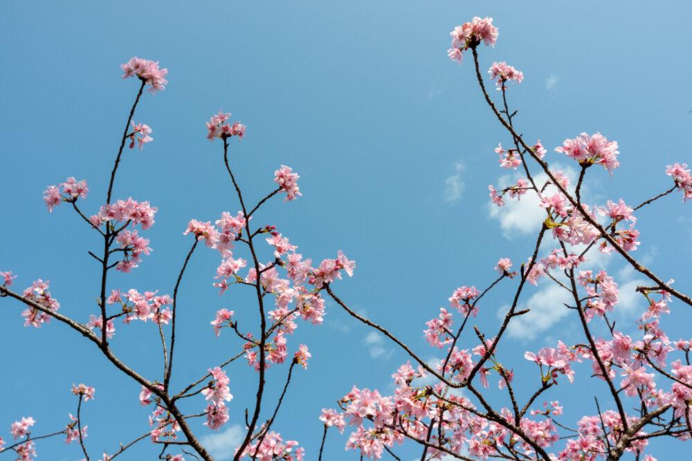|新竹。東區|新竹公園櫻花盛開-城市賞櫻好去處!